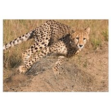 Cheetah On The Move Wall Art Framed Print